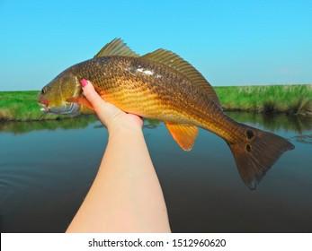 A Redfish Caught In The Louisiana Marsh