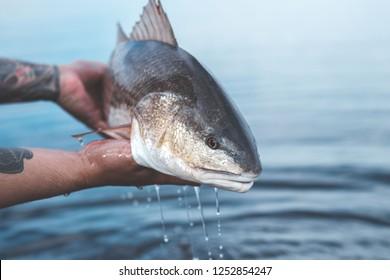 Redfish drip shot, fishing the flats of NE Florida.