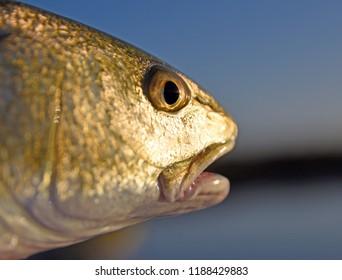 Redfish Face Up Close