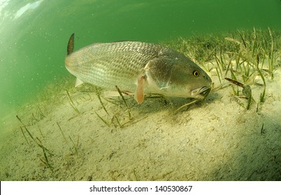 redfish fish swimming in ocean off of the florida coast