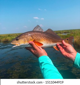 A Redfish in The Louisiana Marsh