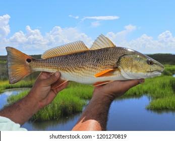 Redfish in Louisiana's Marsh