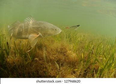 redfish in ocean chasing lure while fishing