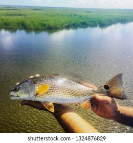 Redfish With A Perfectly Round Spot On It's Tail Caught In Myrtle Grove, Louisiana