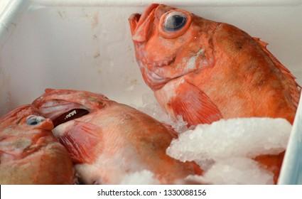 Redfish (Sebastes norvegicus) in a styrox fish box