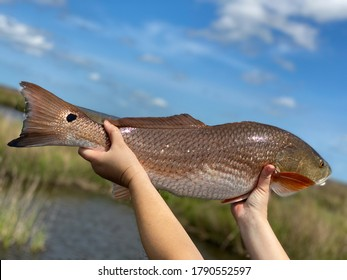Redfish with a spot in the Louisiana marsh