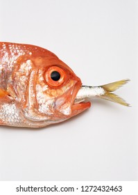 Redfish with tail of sardine in mouth