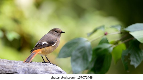 Red-flanked Bush Robin