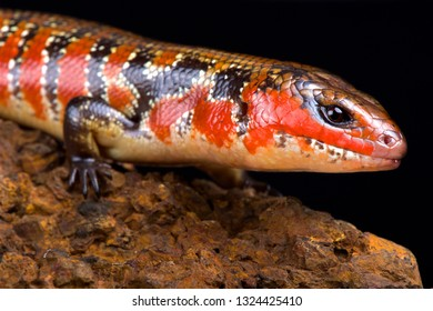 Hinkel's red-flanked skink (Lepidothyris hinkeli hinkeli)