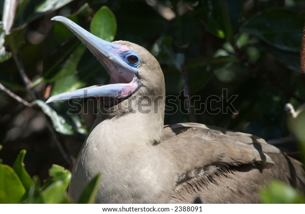 Red-footed Booby in Galapagos