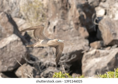Red-footed Booby (Sula sula) - Building A Nest