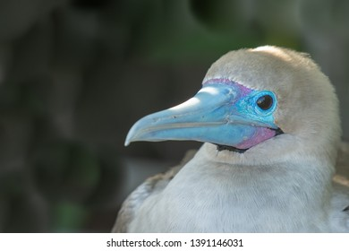 Red-footed Booby (Sula sula) - Portrait