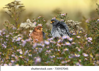 Red-footed falcon couple in flowers