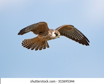 Red-footed falcon (Falco vespertinus) in flight with blue skies in the background