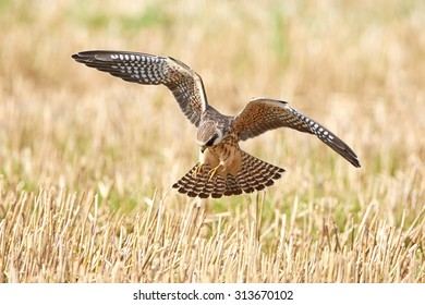 Red-footed falcon (Falco vespertinus) hunting for insects in a crop field
