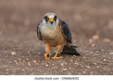 The red-footed falcon Falco vespertinus, a red-legged falcon sitting on the ground with prey.