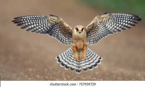 The red-footed Falcon in flight, (Falco vespertinus).