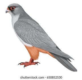Red-footed Falcon. Illustration. Digital.