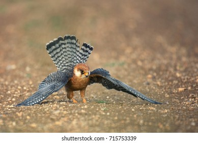 Red-footed Falcon  stands on the ground with spread wings and hunts.  Falco vespertinus
