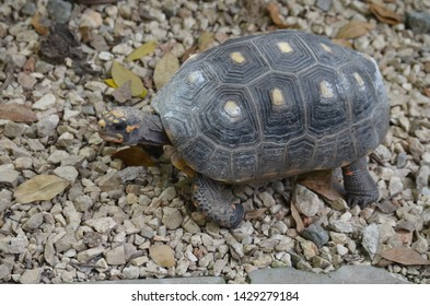 Red-footed tortoise (Chelonoidis carbonaria) kept in captivity at Quinta de los Molinos garden (Havana, Cuba)