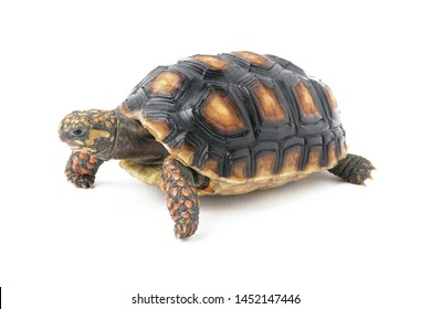 The red-footed tortoise (Chelonoidis carbonarius) is a species of tortoise from northern South America. These medium-sized tortoises generally average 30 cm as adults, but can reach over 40 cm.