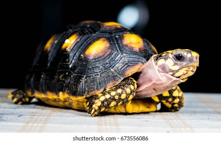 Red-footed tortoise facing, Chelonoidis