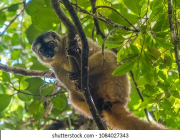 Red-fronted brown lemur (Eulemur rufifrons), Ranomafana (hot water in Malagasy) National Park, Madagascar