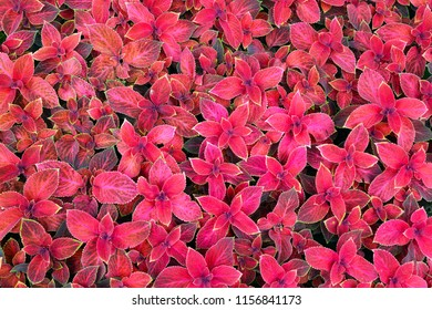 Red-green background from street flower Coleus (лат. Coleus blumeli).