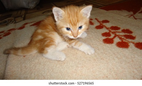 Red-haired cat, domestic pet. Favorite pets in our homes.