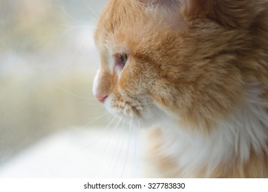 Red-haired cat looking at the window closeup. Soft focus.