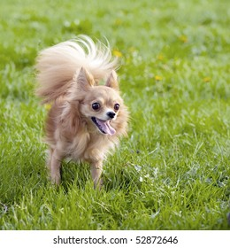 red-haired chihuahua in the spring park