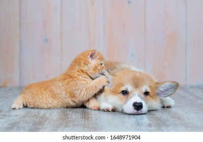 A red-haired corgi puppy and a red-haired tabby kitten of British breed are lying nearby on the floor at home. The kitten plays with the paw with the puppy's ear, as if whispering something in his ear