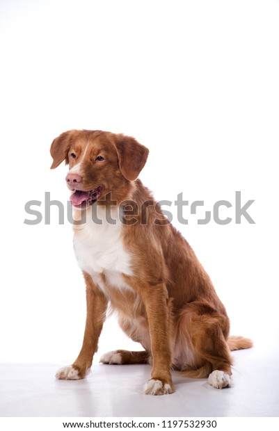 Redhaired Dog Isolated On White Background Stock Photo Edit Now