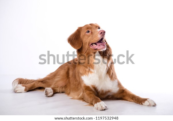 Redhaired Dog Isolated On White Background Stock Image Download Now