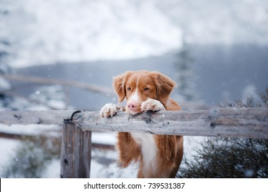 red-haired dog in nature in winter. put her paws on the fence, looks at the Lake.   in the mountains, in nature. Winter mood, snow, cold
