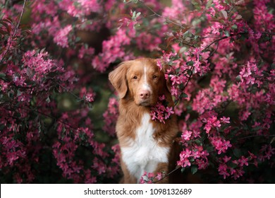 red-haired dog sitting in pink flowers. Nova Scotia Duck Tolling Retriever, Toller