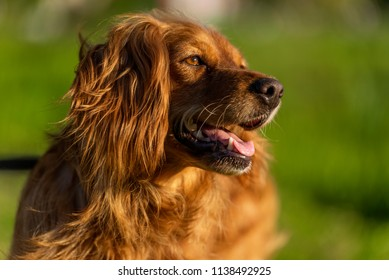 red-haired English cocker spaniel in the park