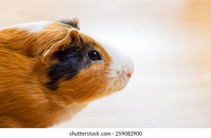 Red-haired Guinea pig closeup
