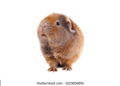 Red-haired guinea pig of a Teddy breed stands lifting his head up against a white background horizontal