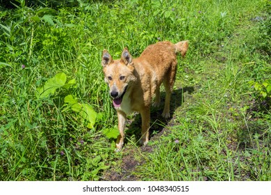 Red-haired husky runs along the path, among the bright green grass, in the summer.