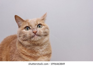 A red-haired smiling cat on a gray background. Funny face of a cat. surprised cat.