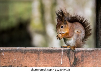 red-haired squirrel eating a nut