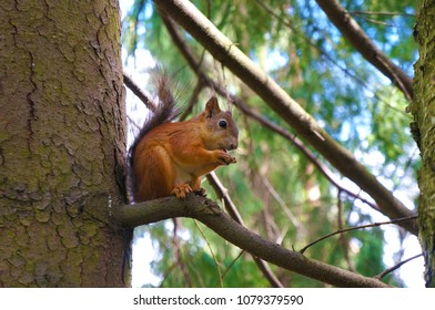 Red-haired squirrel sits on a tree branch