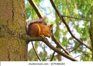 Red-haired squirrel sits on a tree branch. Side view.