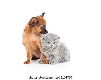 The red-haired toy terrier puppy looks at the kitten with a gray British kitten. Isolated on a white background
