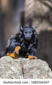 The red-handed tamarin (Saguinus midas) on a rock he eats an insect