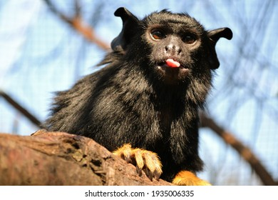 Red-handed tamarin,  sitting on a branch in the zoo enclosure, this monkey belongs to family Callitrichidae, the primate sticks out the tongue