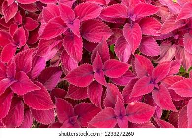 """Redhead"" coleus (Plectranthus scutellarioides) - Pembroke Pines, Florida, USA"