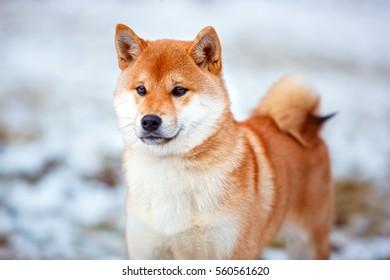 Redhead dog Japanese Shiba Inu