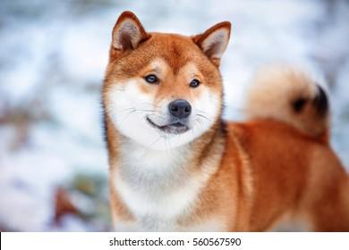 Redhead dog Japanese Shiba Inu breed with a cheerful muzzle
